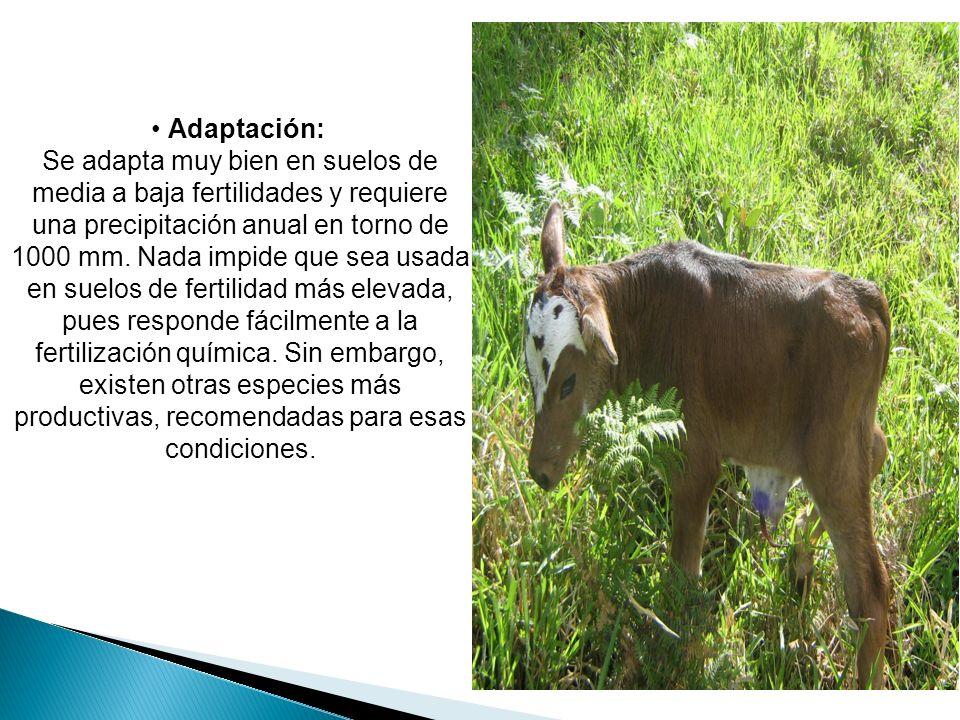 • Adaptación: Se adapta muy bien en suelos de media a baja fertilidades y requiere una precipitación anual en torno de 1000 mm.
