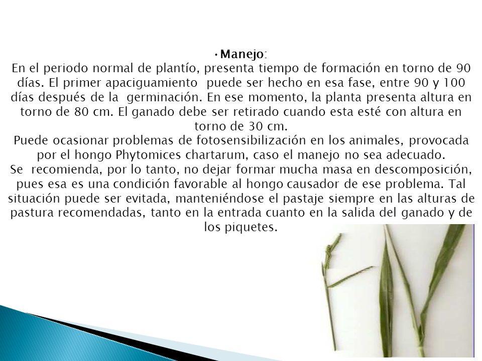 •Manejo: En el periodo normal de plantío, presenta tiempo de formación en torno de 90 días.