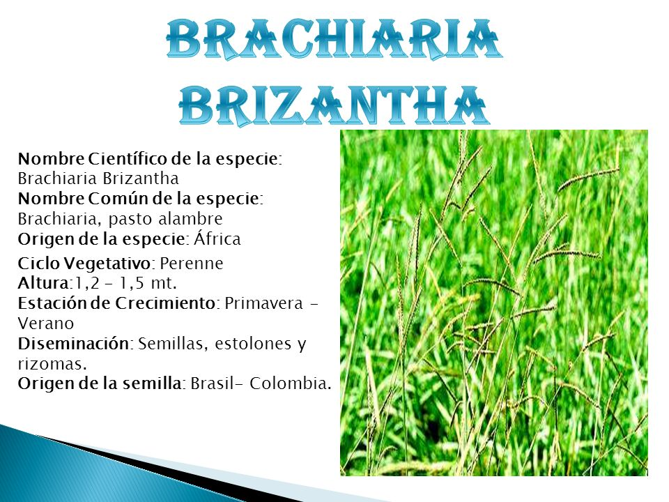 BRACHIARIA BRIZANTHA Nombre Científico de la especie: Brachiaria Brizantha. Nombre Común de la especie: Brachiaria, pasto alambre.