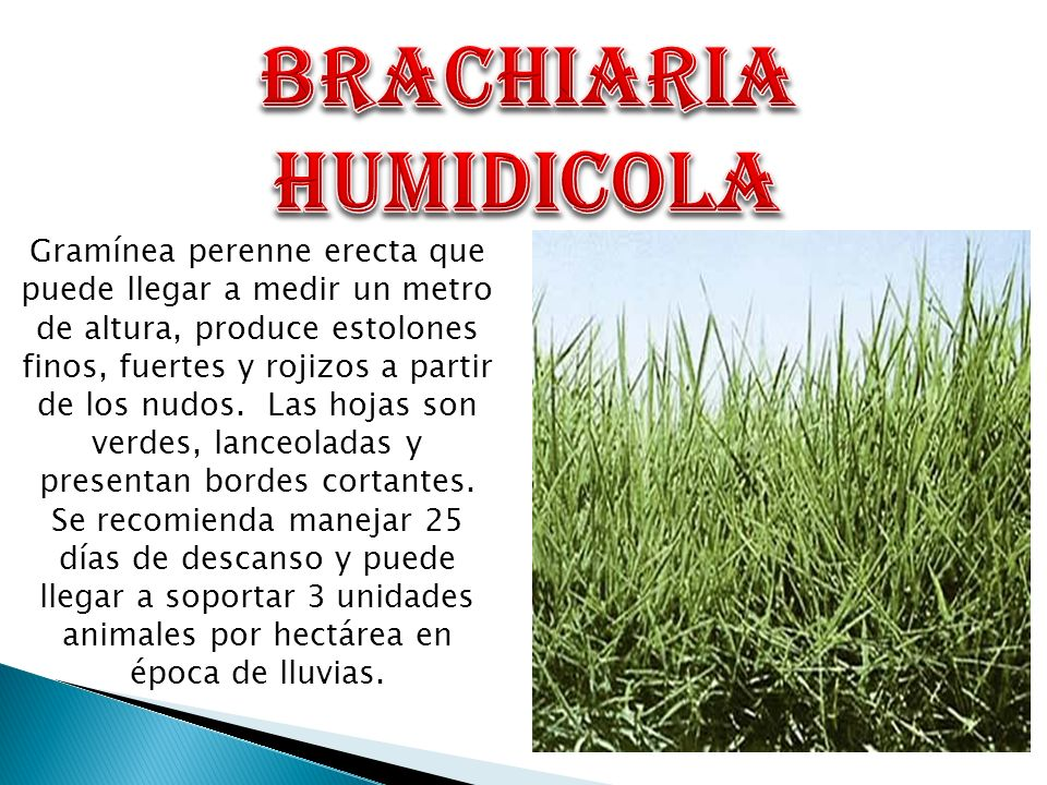 BRACHIARIA HUMIDICOLA