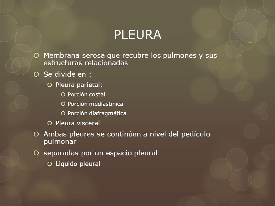 PLEURA Membrana serosa que recubre los pulmones y sus estructuras relacionadas. Se divide en : Pleura parietal: