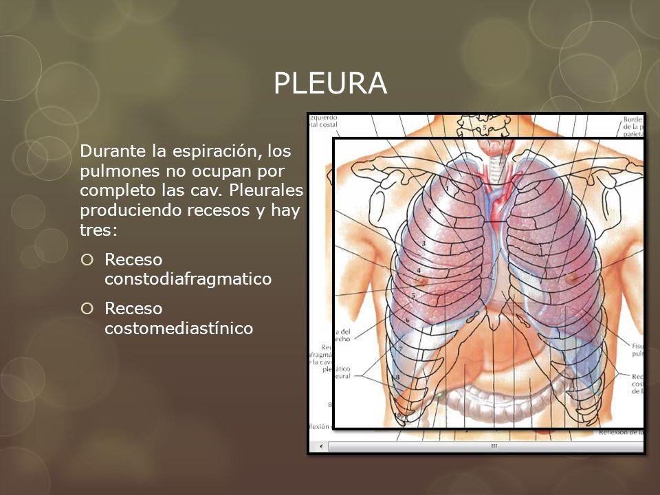 PLEURA Durante la espiración, los pulmones no ocupan por completo las cav. Pleurales produciendo recesos y hay tres: