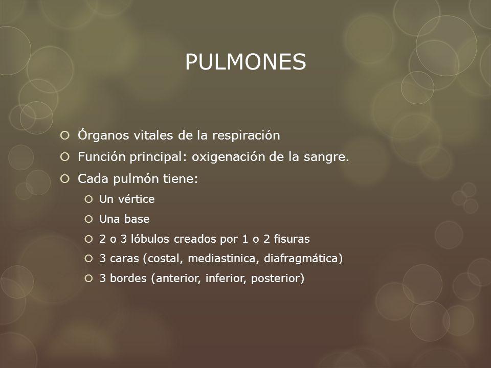 PULMONES Órganos vitales de la respiración