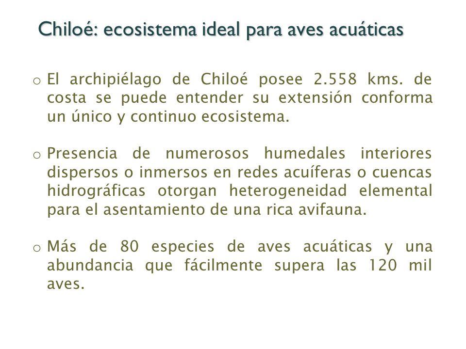 Chiloé: ecosistema ideal para aves acuáticas