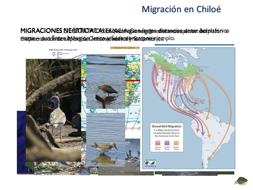 Migración en Chiloé MIGRACIONES DE CORTA DISTANCIA: Generalmente aves que se desplazan a distancias donde suplen sus necesidades alimentarias.