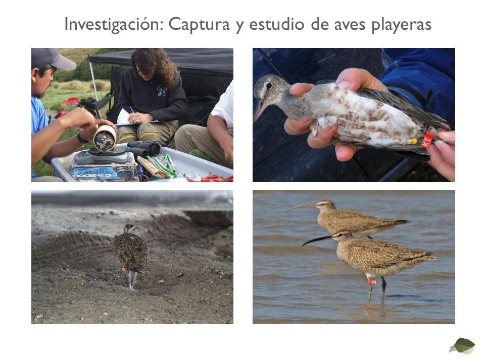 Investigación: Captura y estudio de aves playeras