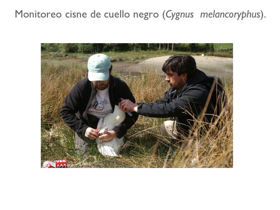 Monitoreo cisne de cuello negro (Cygnus melancoryphus).
