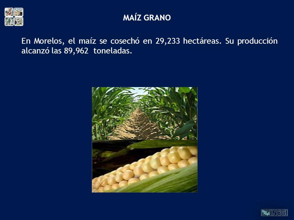 MAÍZ GRANO En Morelos, el maíz se cosechó en 29,233 hectáreas. Su producción alcanzó las 89,962 toneladas.