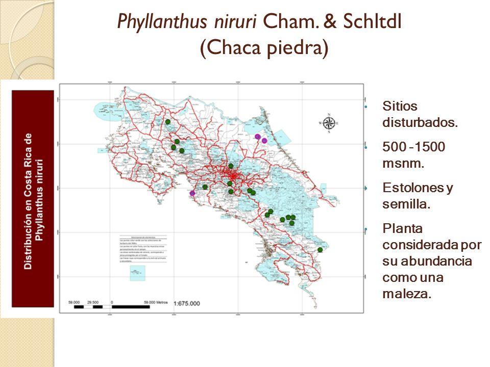 Phyllanthus niruri Cham. & Schltdl (Chaca piedra)