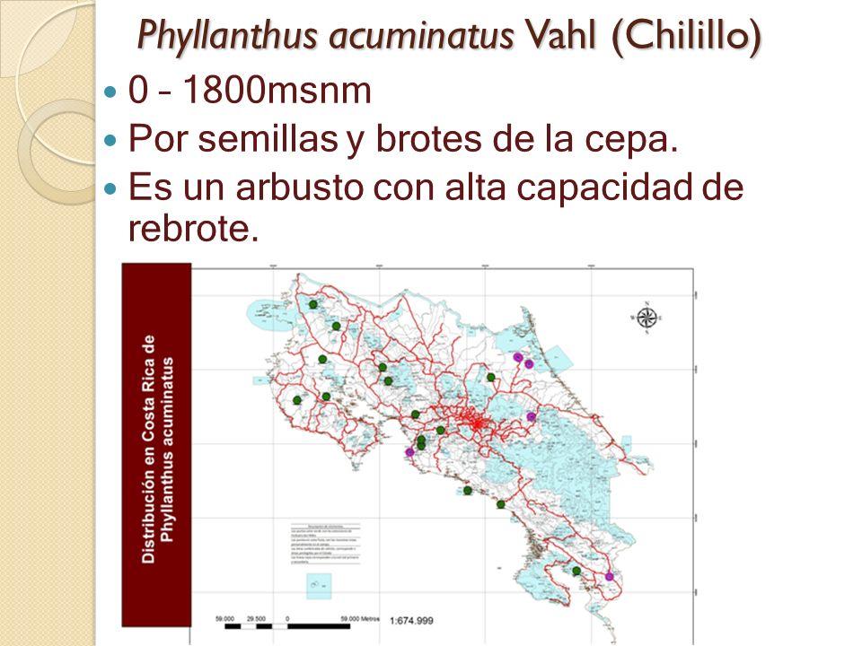 Phyllanthus acuminatus Vahl (Chilillo)