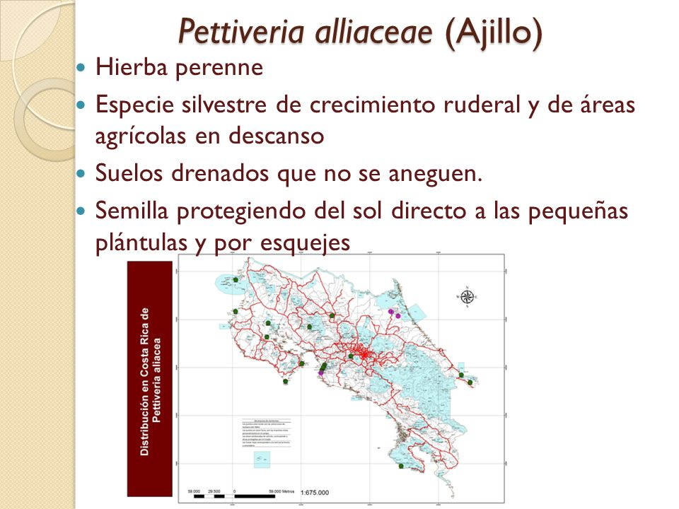 Pettiveria alliaceae (Ajillo)