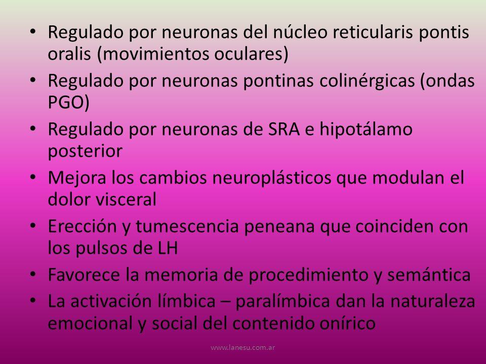 Regulado por neuronas pontinas colinérgicas (ondas PGO)