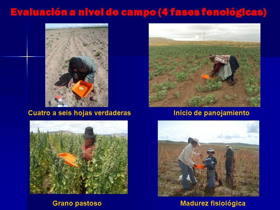 Evaluación a nivel de campo (4 fases fenológicas)