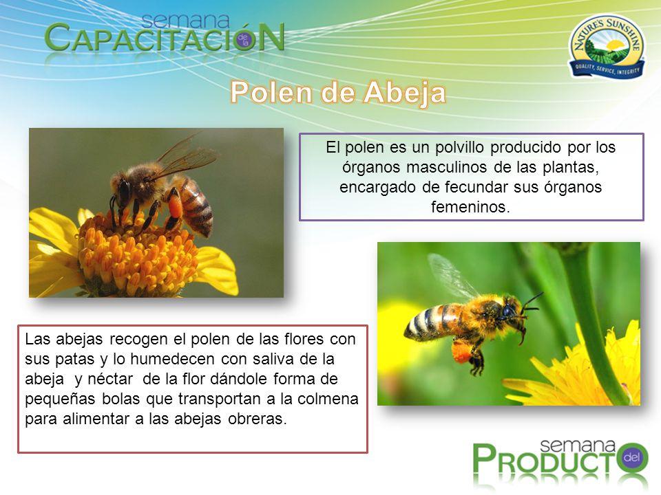 Polen de Abeja El polen es un polvillo producido por los órganos masculinos de las plantas, encargado de fecundar sus órganos femeninos.