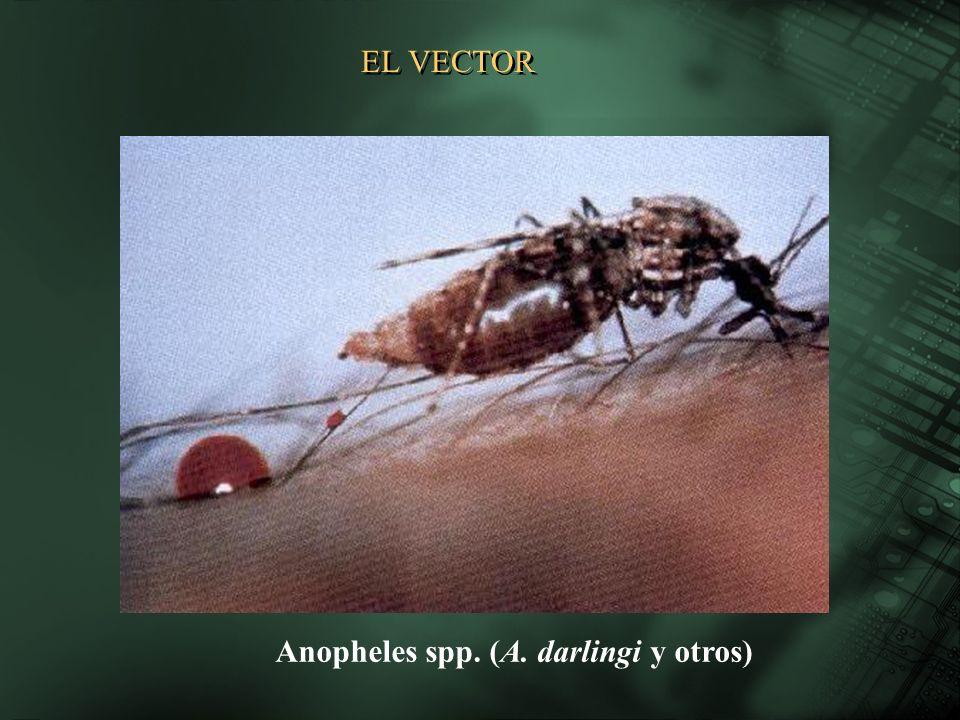 EL VECTOR Anopheles spp. (A. darlingi y otros)