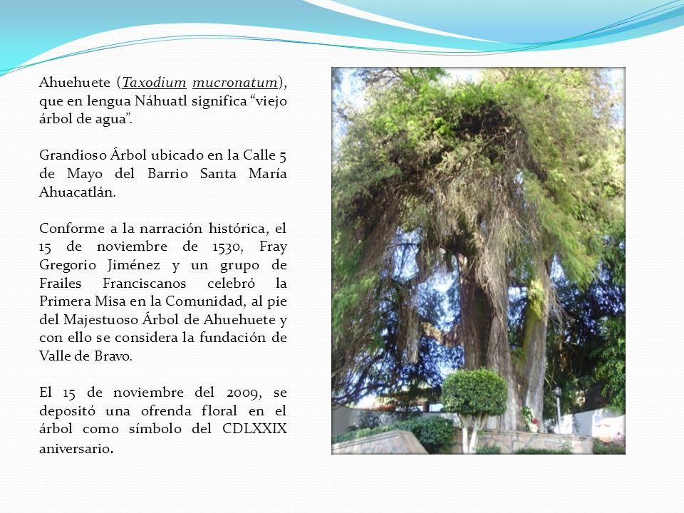 Ahuehuete (Taxodium mucronatum), que en lengua Náhuatl significa viejo árbol de agua .