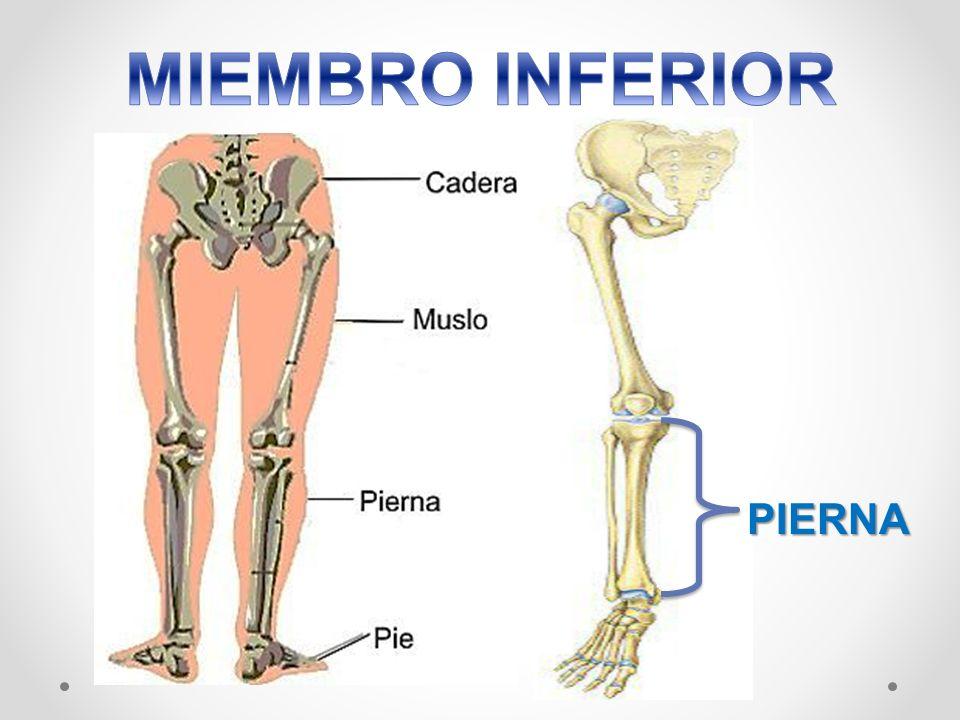 MIEMBRO INFERIOR - ANATOMIA DEL SISTEMA NERVIOSO
