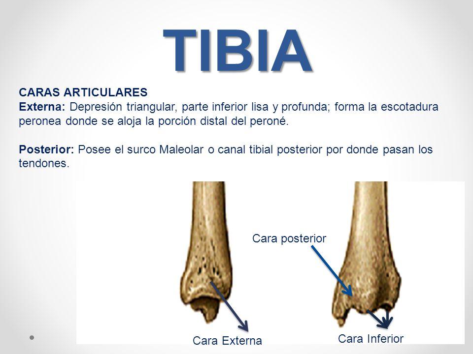 Bonito Anatomía De La Tibia Y El Peroné Elaboración - Imágenes de ...