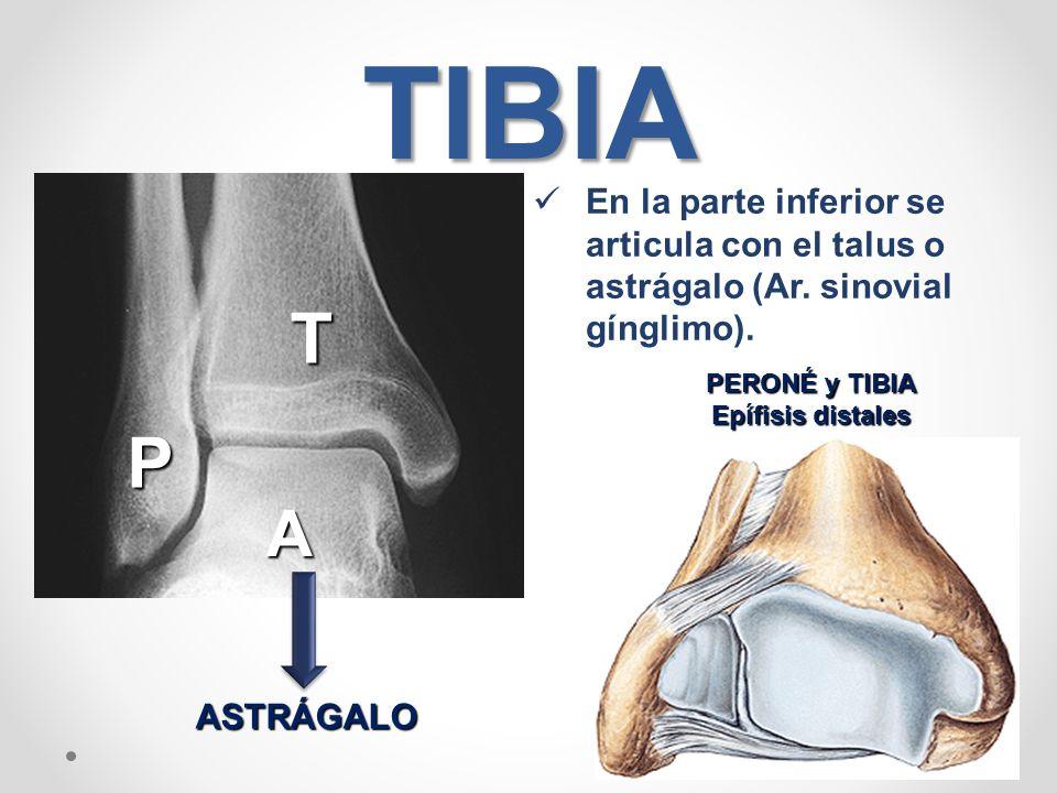 Vistoso La Tibia Peroné Anatomía Modelo - Anatomía de Las ...