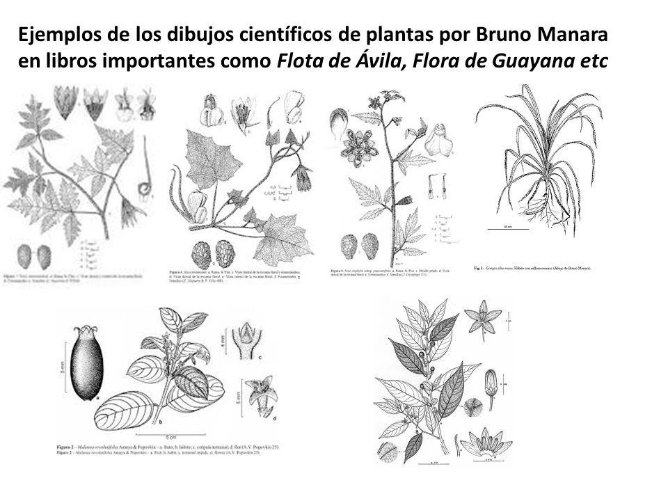Ejemplos de los dibujos científicos de plantas por Bruno Manara en libros importantes como Flota de Ávila, Flora de Guayana etc