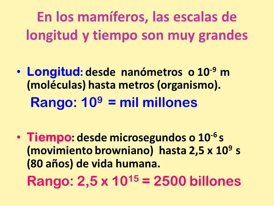 En los mamíferos, las escalas de longitud y tiempo son muy grandes