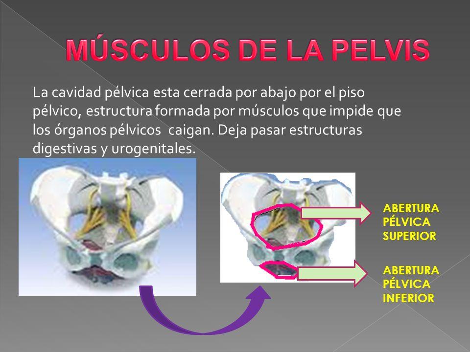 Asombroso Músculos De La Pelvis Fotos - Anatomía de Las Imágenesdel ...