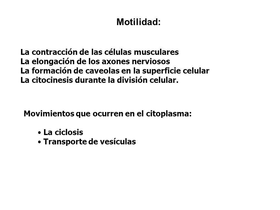 Motilidad: La contracción de las células musculares