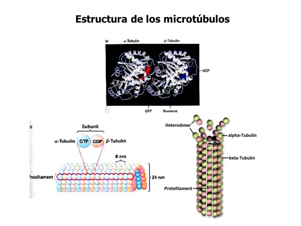 Estructura de los microtúbulos