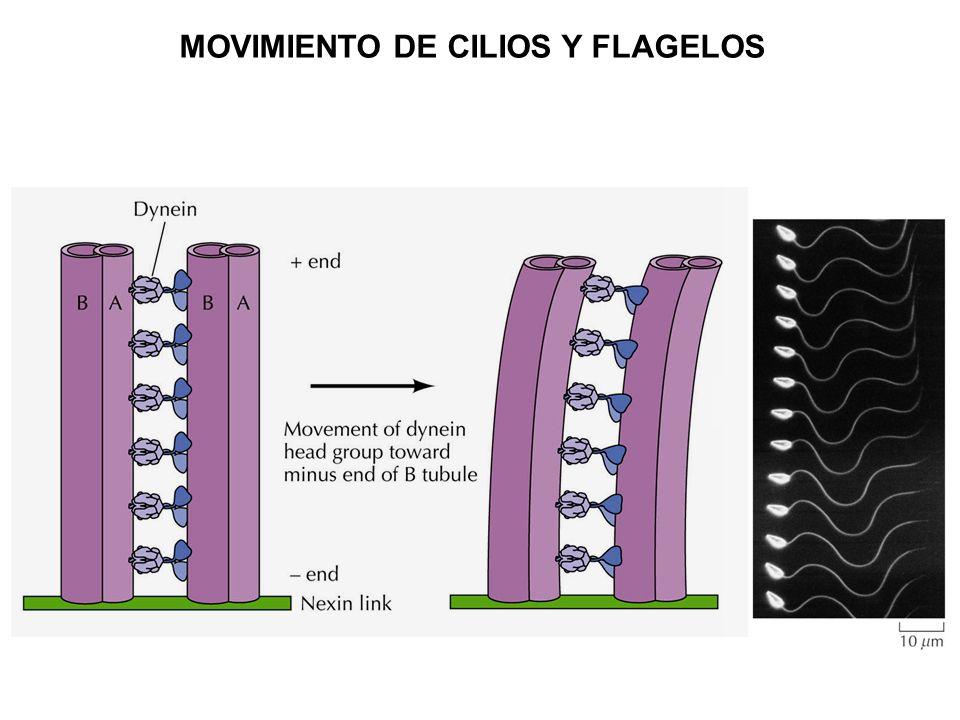 MOVIMIENTO DE CILIOS Y FLAGELOS