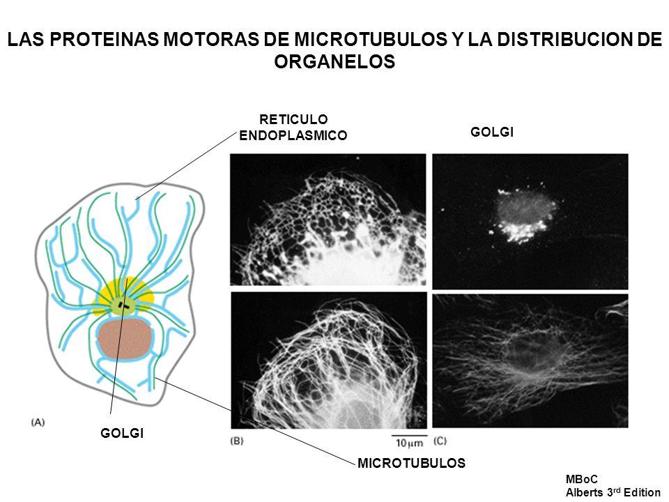 LAS PROTEINAS MOTORAS DE MICROTUBULOS Y LA DISTRIBUCION DE ORGANELOS