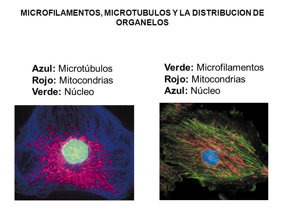 MICROFILAMENTOS, MICROTUBULOS Y LA DISTRIBUCION DE ORGANELOS