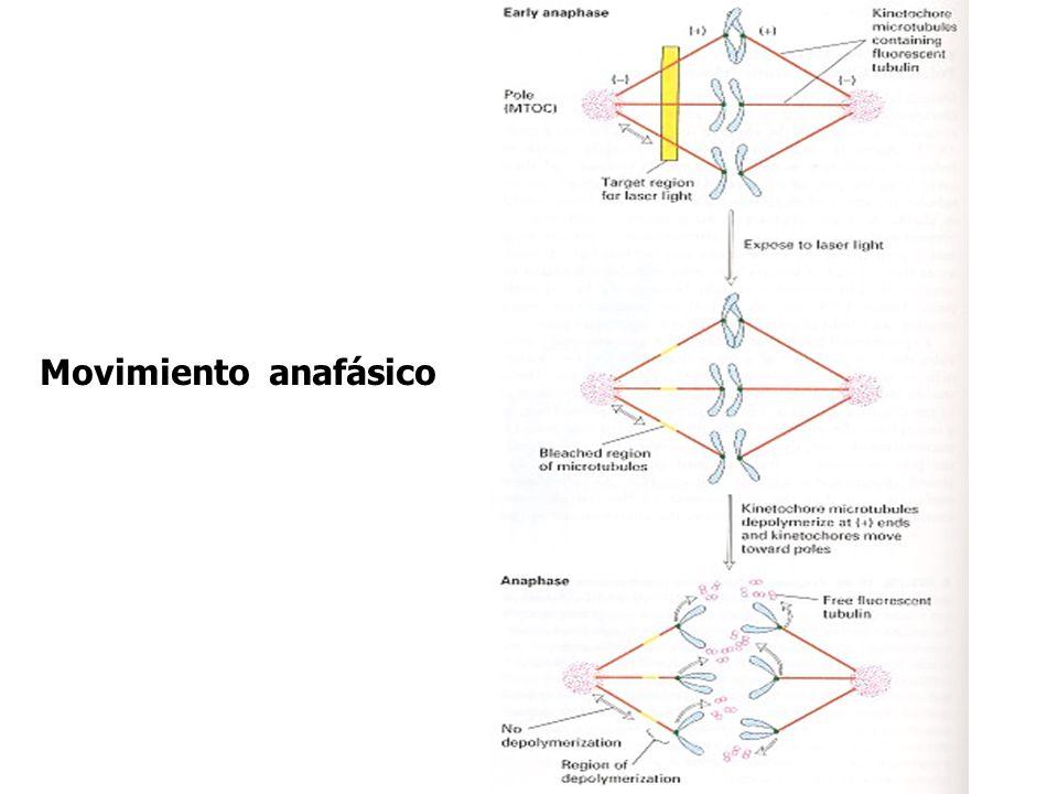 Movimiento anafásico
