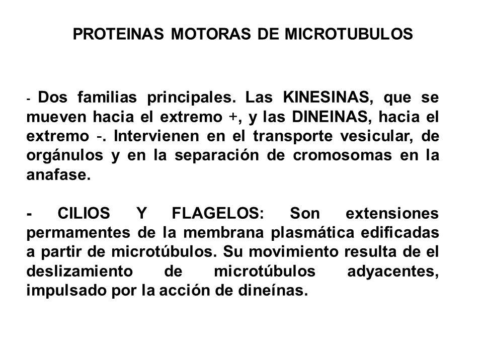 PROTEINAS MOTORAS DE MICROTUBULOS
