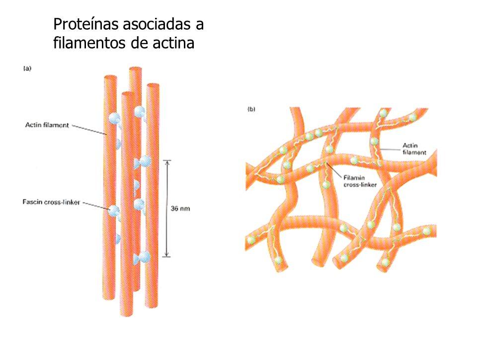 Proteínas asociadas a filamentos de actina