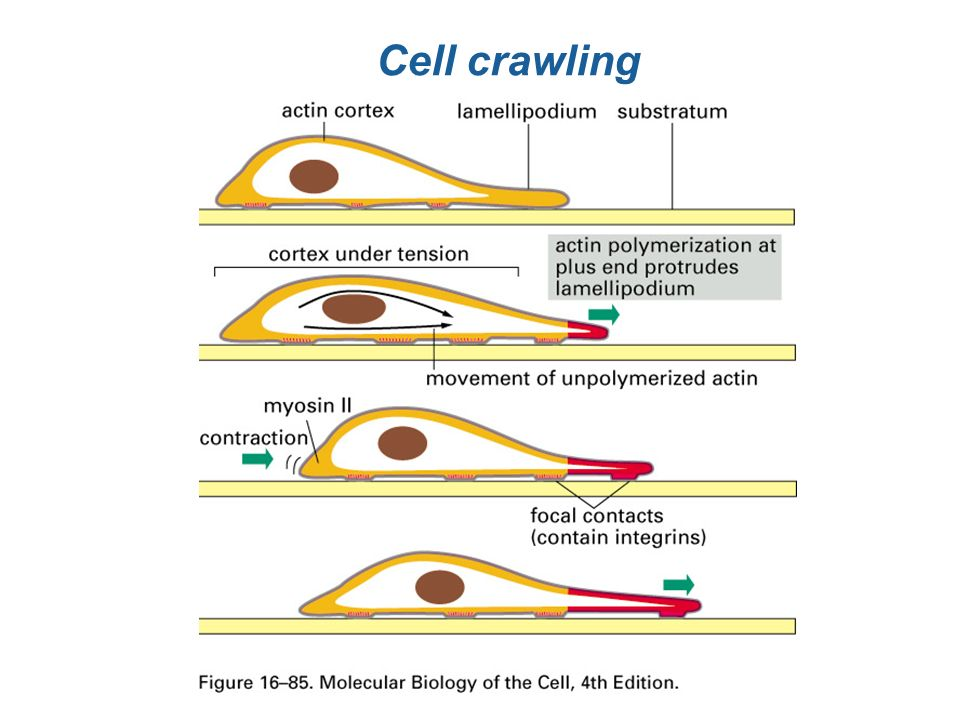 Cell crawling