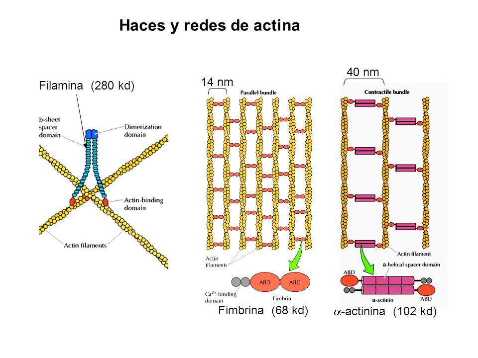 Haces y redes de actina 40 nm 14 nm Filamina (280 kd) Fimbrina (68 kd)