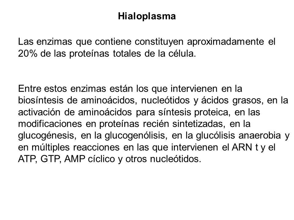 Hialoplasma Las enzimas que contiene constituyen aproximadamente el 20% de las proteínas totales de la célula.