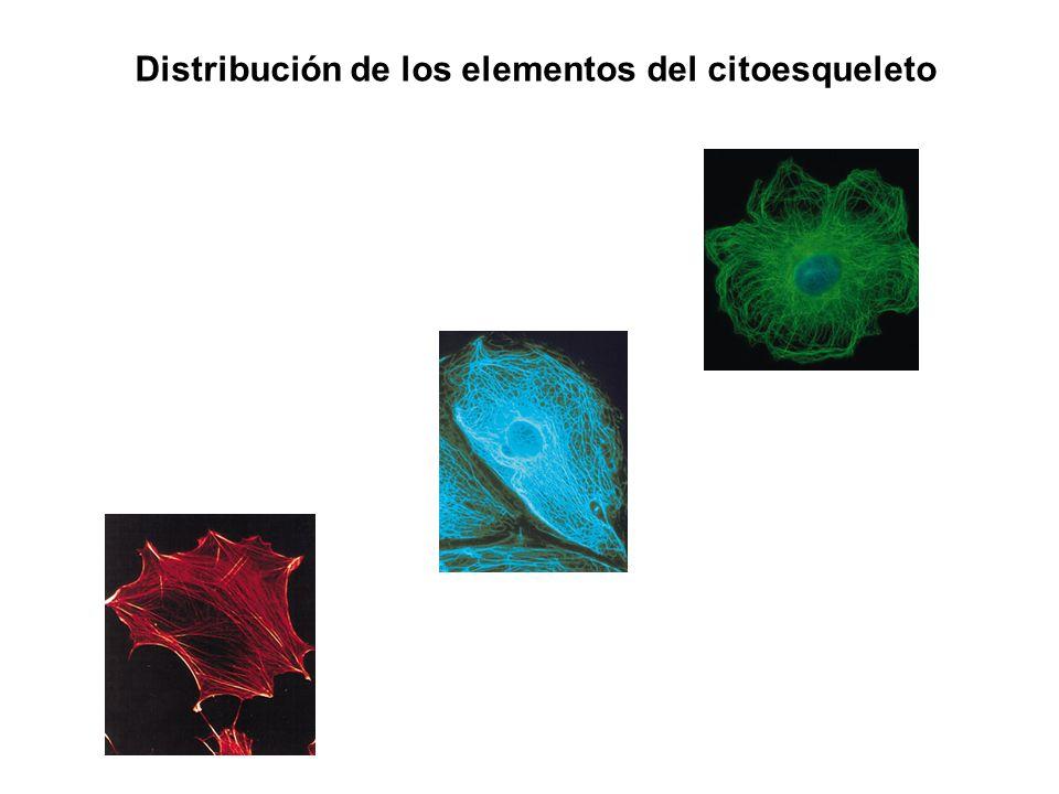 Distribución de los elementos del citoesqueleto