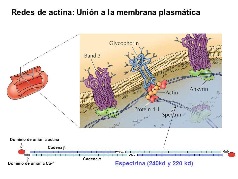 Redes de actina: Unión a la membrana plasmática