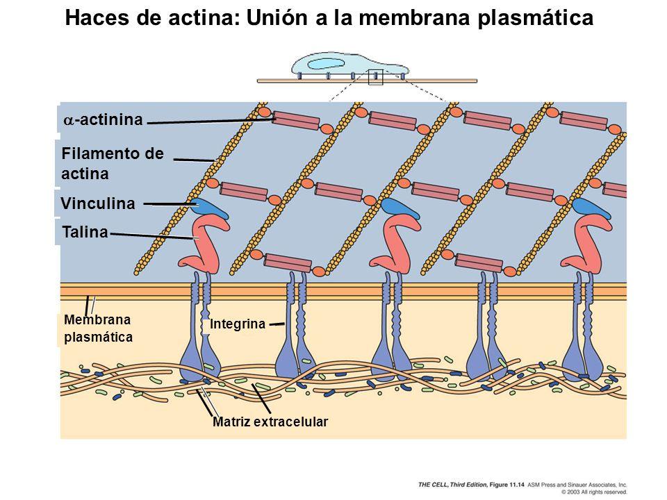 Haces de actina: Unión a la membrana plasmática