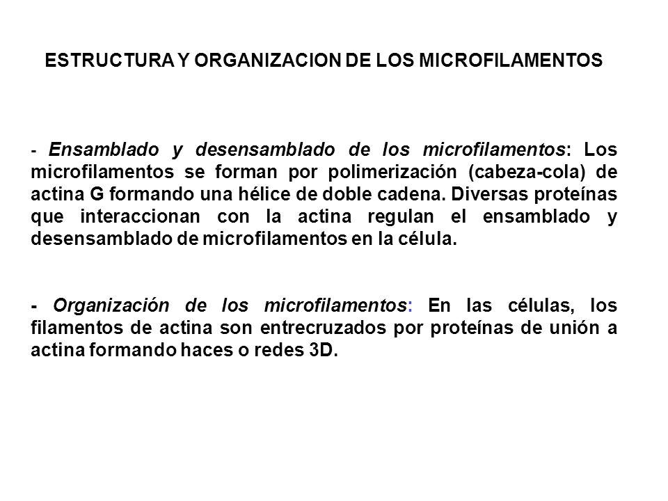 ESTRUCTURA Y ORGANIZACION DE LOS MICROFILAMENTOS