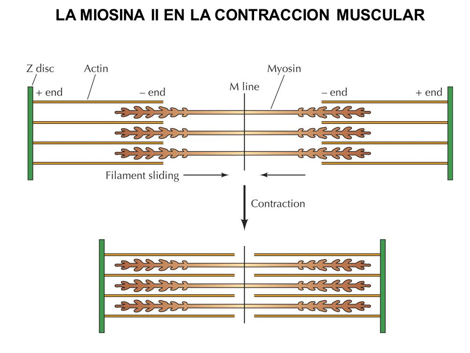 LA MIOSINA II EN LA CONTRACCION MUSCULAR