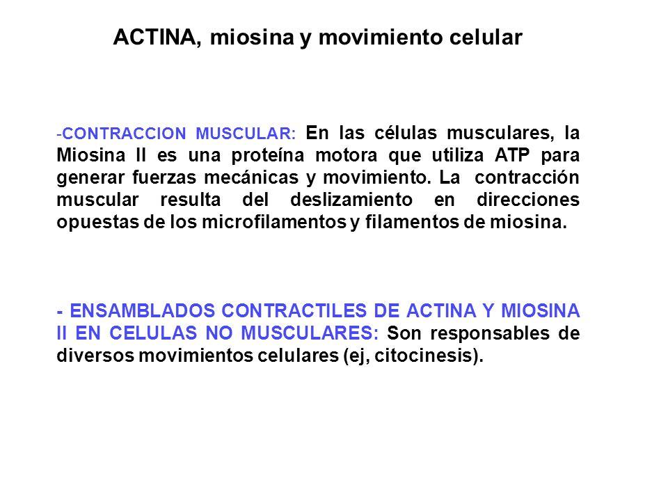ACTINA, miosina y movimiento celular