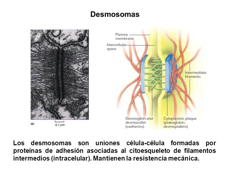 Desmosomas