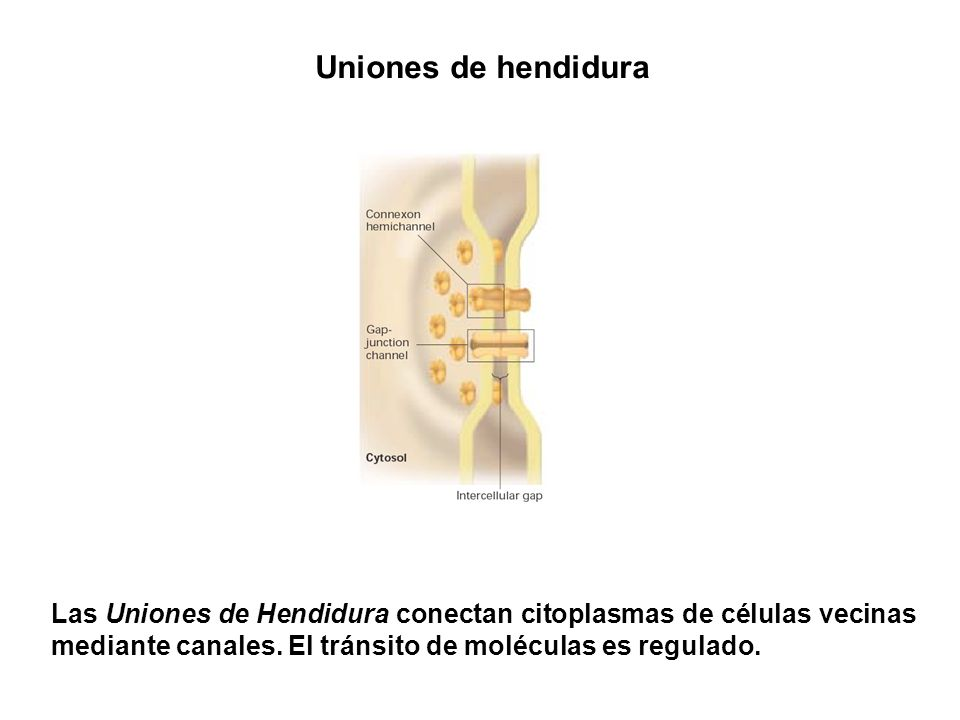 Uniones de hendidura Las Uniones de Hendidura conectan citoplasmas de células vecinas mediante canales.