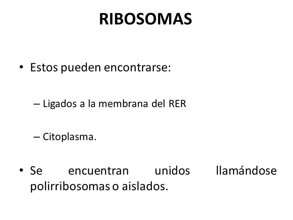 RIBOSOMAS Estos pueden encontrarse: