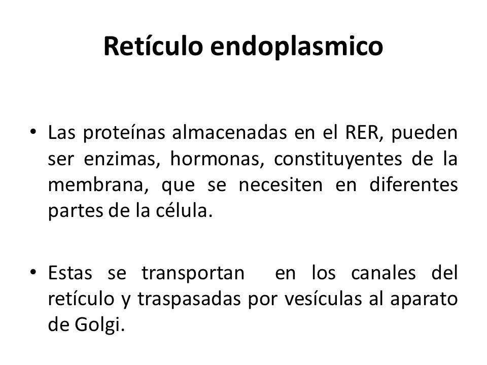 Retículo endoplasmico