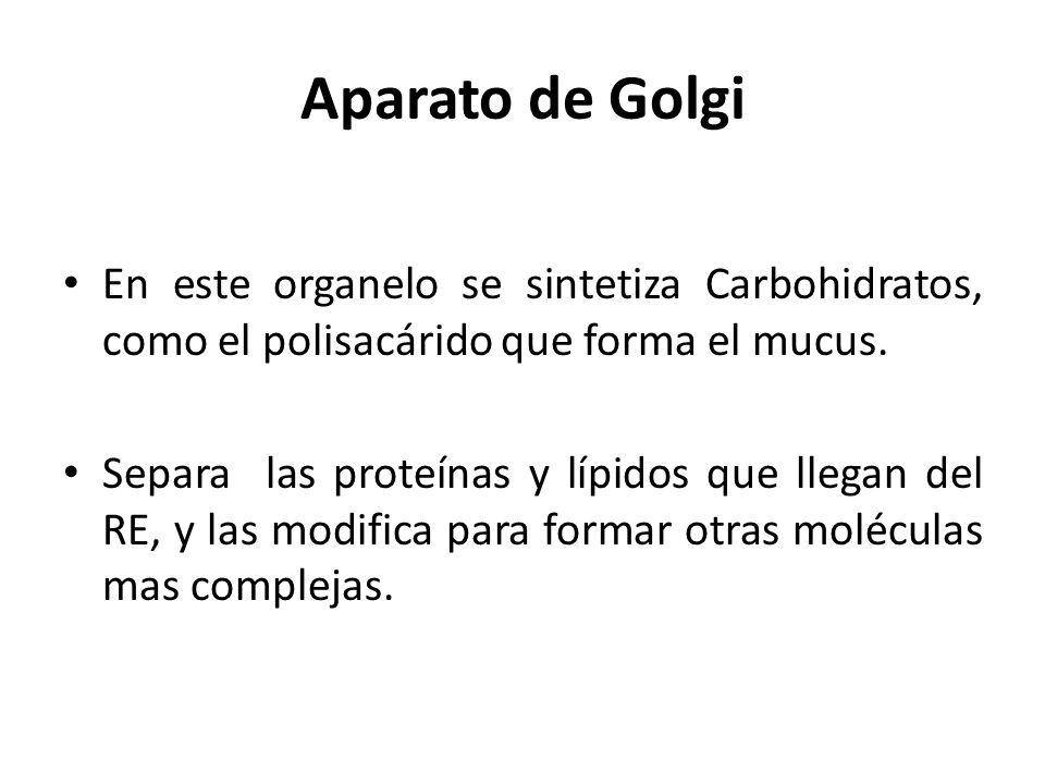 Aparato de Golgi En este organelo se sintetiza Carbohidratos, como el polisacárido que forma el mucus.
