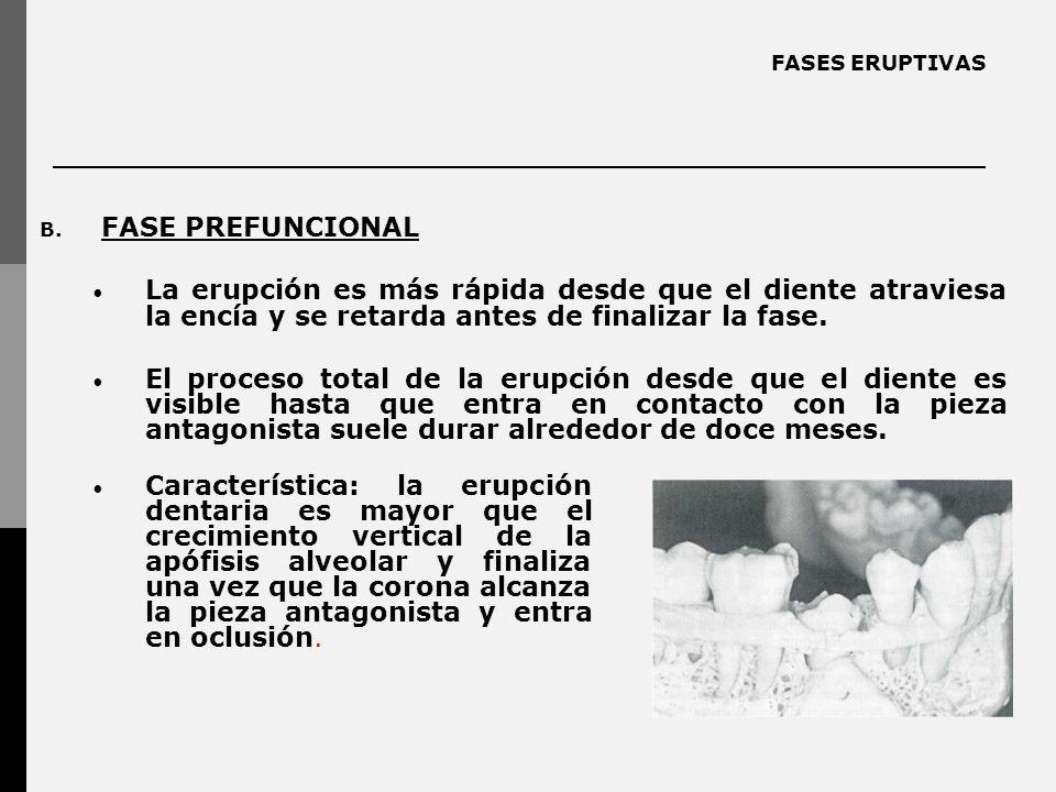 FASES ERUPTIVAS FASE PREFUNCIONAL. La erupción es más rápida desde que el diente atraviesa la encía y se retarda antes de finalizar la fase.