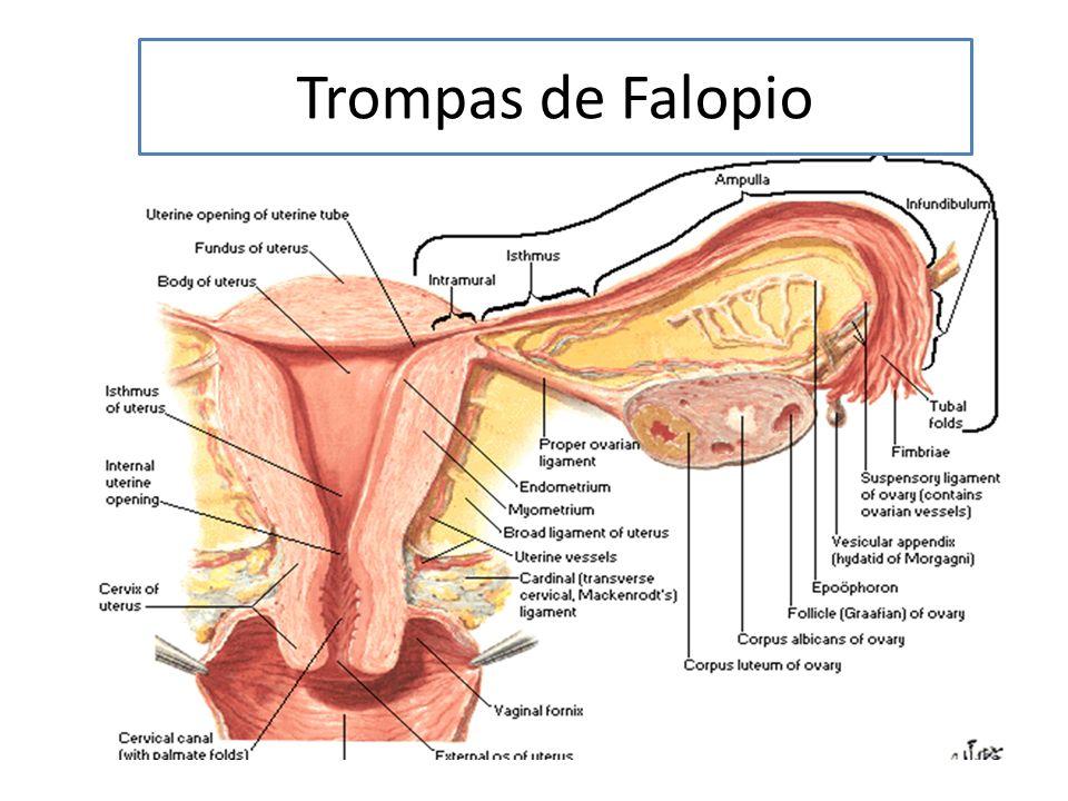 Trompas de Falopio. - ppt video online descargar